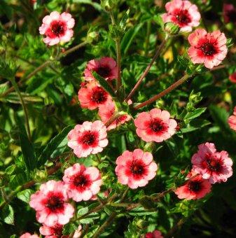 Потентила Мис Уилмот /Potentilla nepalensis miss willmott/..