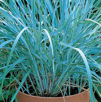 Пясъчен елимус /Leymus arenarius - Blue Dune Lyme Grass/..