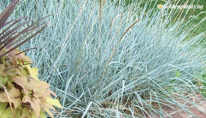 Снимка Пясъчен елимус /Leymus arenarius - Blue Dune Lyme Grass/