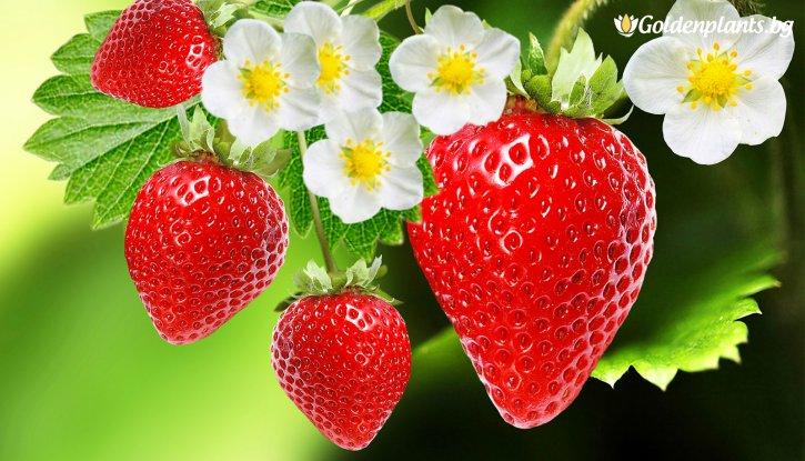 Снимка Ягода даваща плод целогодишно /Strawberry/