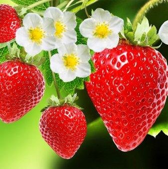 Ягода даваща плод целогодишно /Strawberry/
