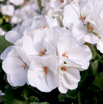 Мушкато Бяло /Pelargonium/