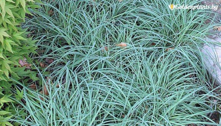 Снимка Син Карекс /Carex flacca Blue Zinger/