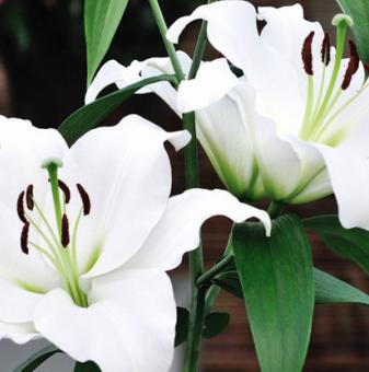 Лилиум Майско време / Lilies Maytime/