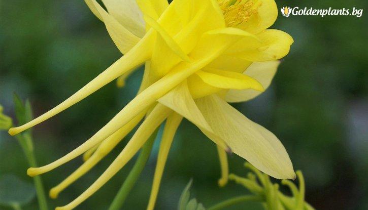 Снимка Кандилка - Аквилегия Жълта /Aquilegia /