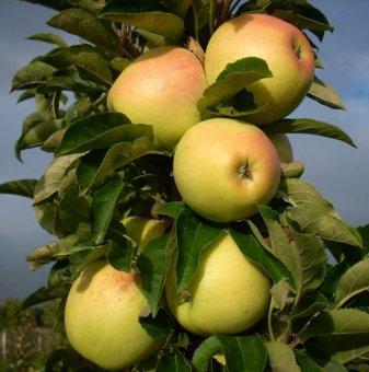 Колонна ябълка жълта в контейнер