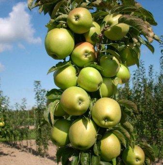 Колонна ябълка зелена в контейнер