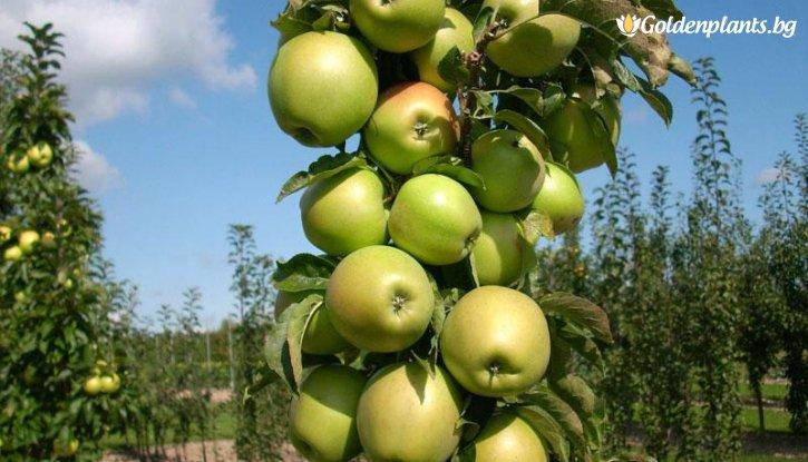 Снимка Колонна ябълка зелена в контейнер