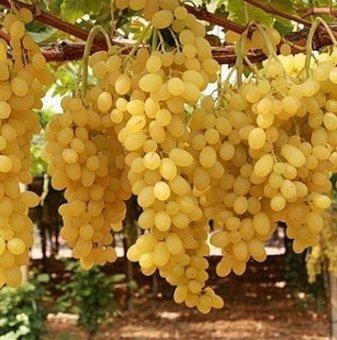 Лоза Афродита - безсеменен сорт грозде - ранно зреещ в контейнер..