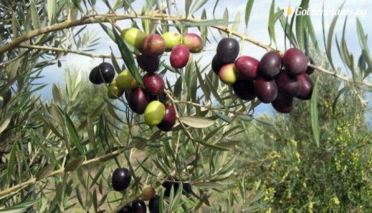 Снимка Маслина /Picual olive tree/