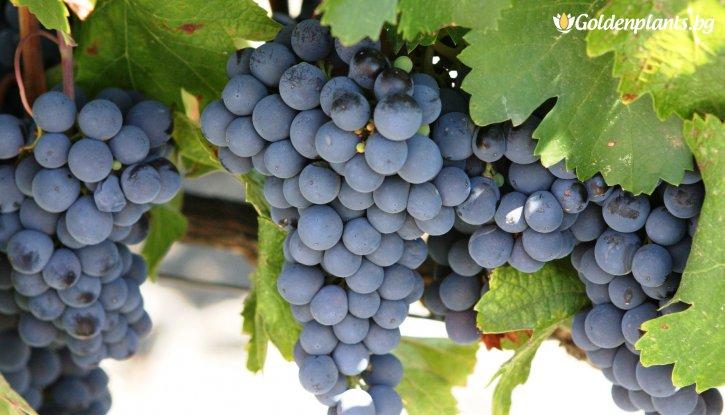 Снимка Лоза Каберне Совиньон - червен винен сорт грозде в контейнер