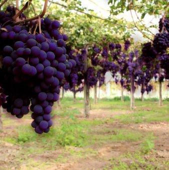 Лоза Блек Маджик - червен десертен сорт грозде - ранно зреещ в контейнер..