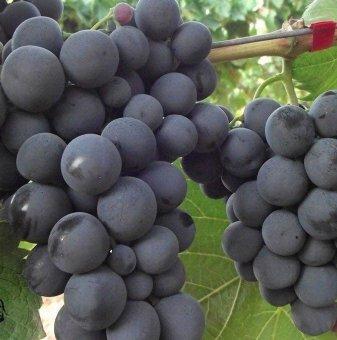 Лоза Алфонс лавале - червен десертен сорт грозде - късно зреещ в контейнер..