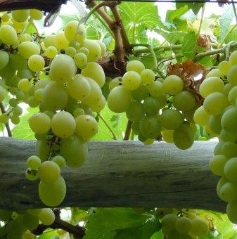 Лоза Брестовица - бял десертен сорт грозде - ранно зреещ в контейнер..