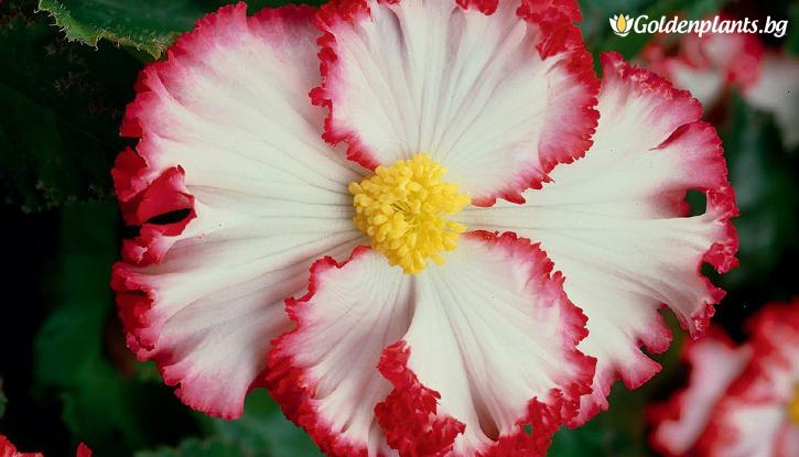 Снимка Бегония Бяла / Begonia CRISPA MARG. WHITE/