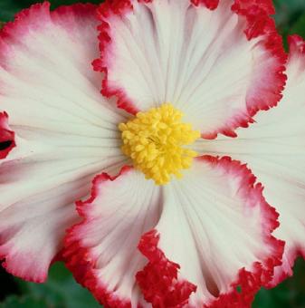 Бегония Бяла / Begonia CRISPA MARG. WHITE/