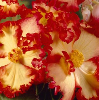 Бегония Жълта / Begonia CRISPA MARG. YELLOW/