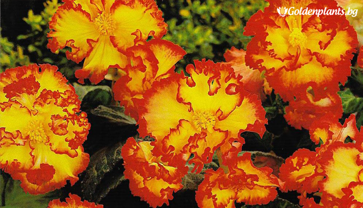 Снимка Бегония Жълта / Begonia CRISPA MARG. YELLOW/