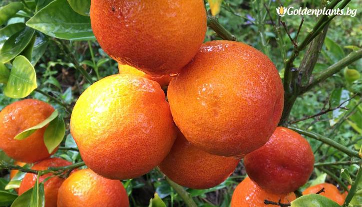 Снимка Червен портокал / Blood orange /