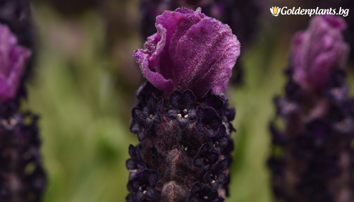 Снимка Лавандула Двуцветна /Lavender stoechas Bandera Deep Rose/