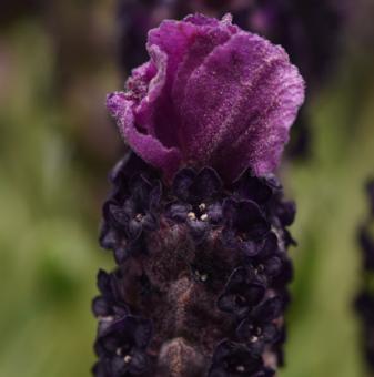 Лавандула Двуцветна /Lavender stoechas Bandera Deep Rose/..