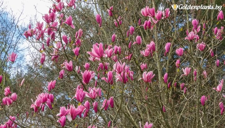 Снимка Магнолия Спектър /Magnolia Spectrum/