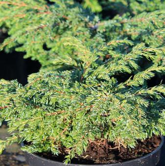 Юниперус Репанда /Juniperus communis Repanda/