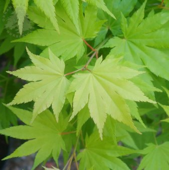 Зелен Японски Клен /Green Acer/