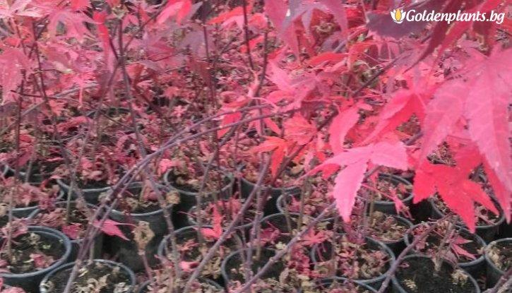 Снимка Японски клен Atropurpureum / Acer Atropurpureum /