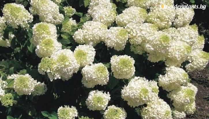 Снимка Хортензия Сребърен долар / Hydrangea paniculata Silver Dollar /