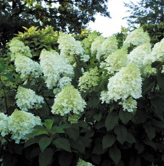 Хортензия Сребърен долар / Hydrangea paniculata Silver Dollar /..