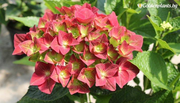 Снимка Хортензия Зелена Сянка / Hydrangea macrophylla Green Shadow /