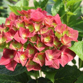 Хортензия Зелена Сянка / Hydrangea macrophylla Green Shadow /..