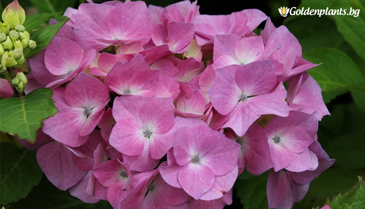 Снимка Хортензия Герда / Hydrangea Macrophylla Gerda Steiniger /