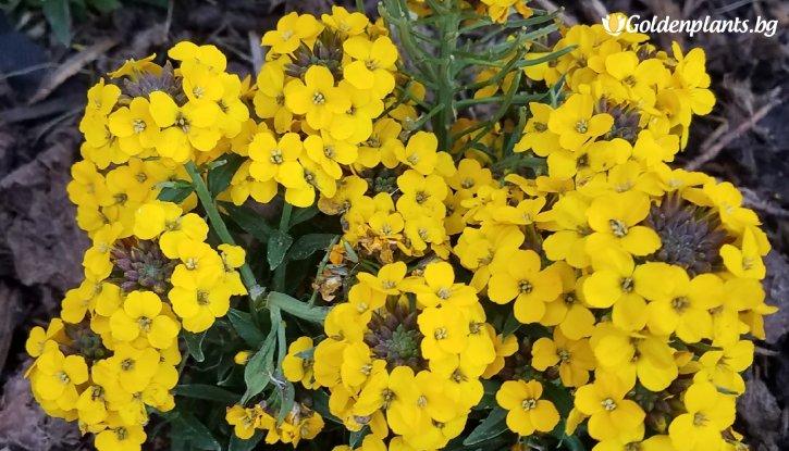 Снимка Боянка Suffruticosum Goldstaub / Erysimum Suffruticosum Goldstaub /
