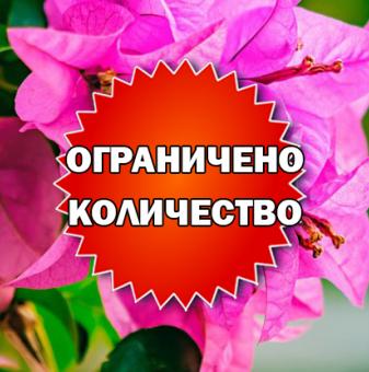 Промоционален пакет Розова Бугенвилия - Плати 2, вземи 3!..