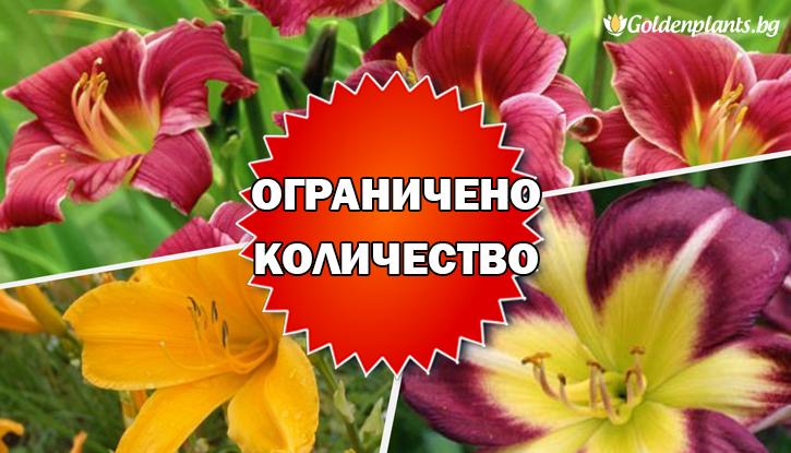 Снимка Промоционален пакет Хемерокалис - Плати 2, вземи 3!