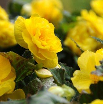 Кралска Бегония Жълта / Begonia DOUBLE YELLOW /...