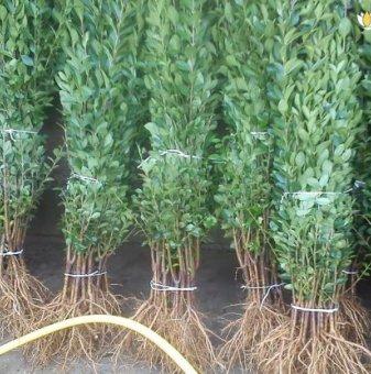 10 броя Лигуструм вечнозелен 20-40 см /Ligustrum Ovalifolium/ на гол корен..