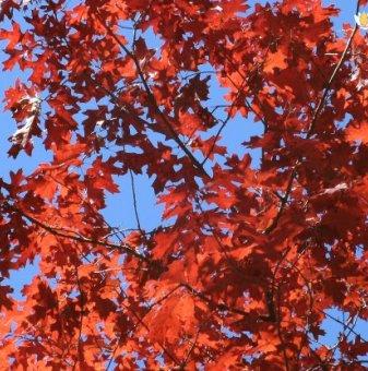 Червен дъб 150-200 см. /Quercus Rubra/