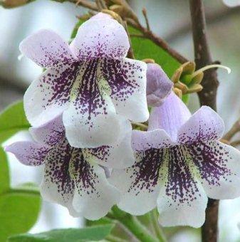 Пауловния Томентоса на гол корен /Paulownia tomentosa/..