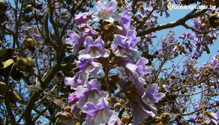Снимка Пауловния Томентоса на гол корен /Paulownia tomentosa/