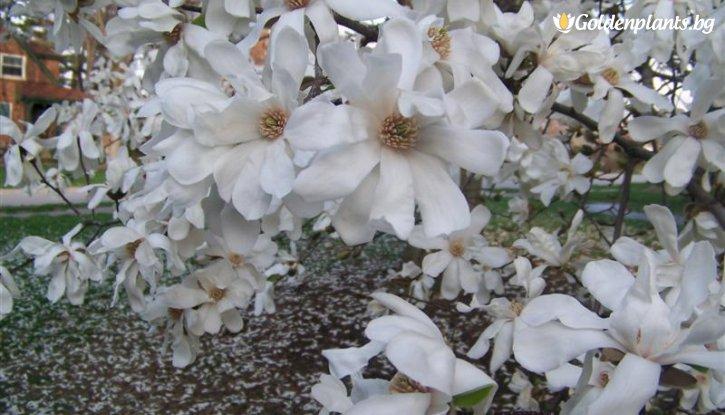 Снимка Магнолия loebneri Merrill 15-25 см. /Magnolia loebneri Merrill/