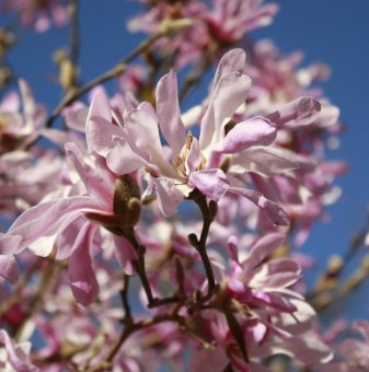 Магнолия Stellata Rosea 15-25см /Magnolia Stellata Rosea/..