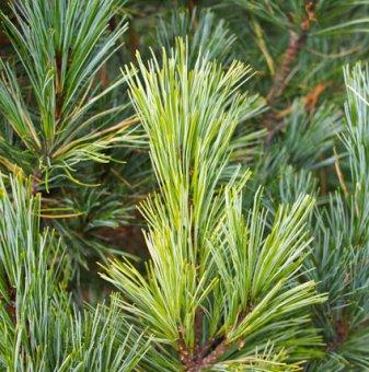Европейски бор / Pinus cembra /
