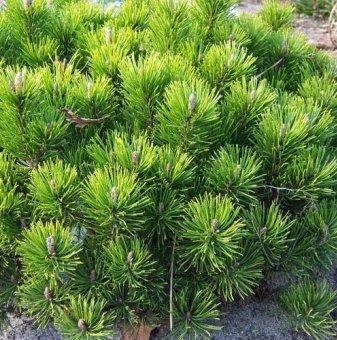 Планински бор Джудже / Pinus mugo pumilio /