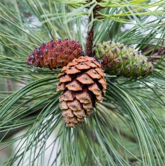 Жълт бор / Pinus ponderosa /