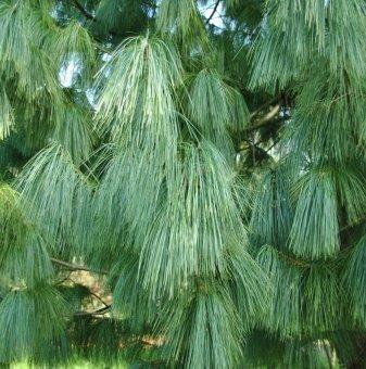 Хималайски бор / Pinus wallichiana /