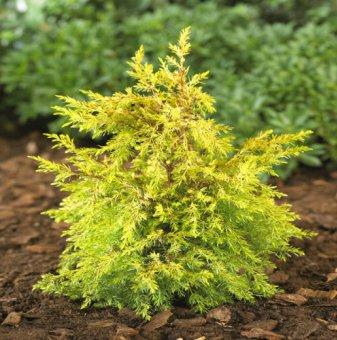 Юниперус Gold Cone / Juniperus Gold Cone /