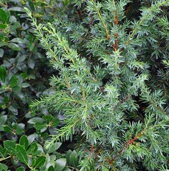 Юниперус Suecica / Juniperus comm. Suecica /